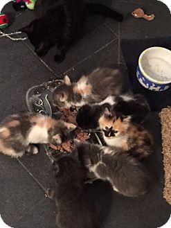 Domestic Mediumhair Kitten for adoption in Port Coquitlam, British Columbia - Kittens