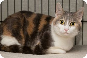 Calico Cat for adoption in Lombard, Illinois - Soap