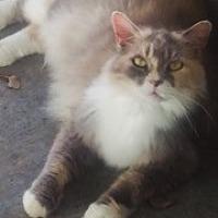 Calico Cat for adoption in St. Cloud, Florida - Professor Princess