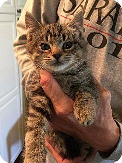 Domestic Shorthair Kitten for adoption in Freeport, New York - Earnie