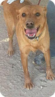 Shepherd (Unknown Type) Mix Dog for adoption in Las Vegas, Nevada - Dahlia