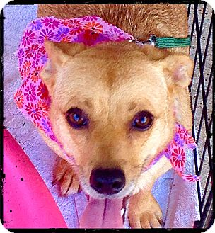 Corgi/Dachshund Mix Dog for adoption in Austin, Texas - Sheila