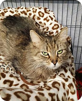 Maine Coon Cat for adoption in Freeport, New York - Amor