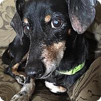 Adopt A Pet :: Cornelius - New Oxford, PA