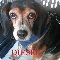 Adopt A Pet :: DIESEL - Ventnor City, NJ