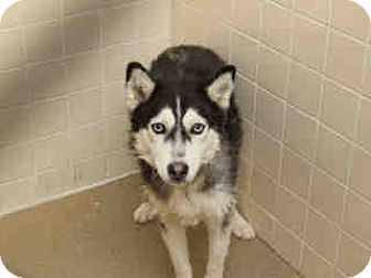 Siberian Husky Dog for adoption in Litchfield Park, Arizona - ON EUTHANASIA LIST!!! Only $35