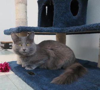 Domestic Mediumhair/Domestic Shorthair Mix Cat for adoption in Mt. Shasta, California - EDEN