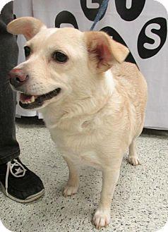 Corgi/Poodle (Miniature) Mix Dog for adoption in Conroe, Texas - Baby Doll