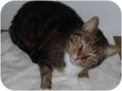 Domestic Shorthair Cat for adoption in Hamburg, New York - Morgan