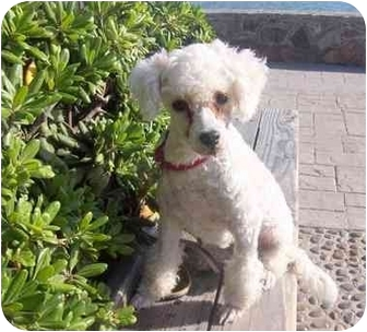 Poodle (Miniature) Dog for adoption in Poway, California - Frenchie