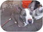 American Pit Bull Terrier/American Pit Bull Terrier Mix Dog for adoption in Sacramento, California - Oslo, blue nose sweetie