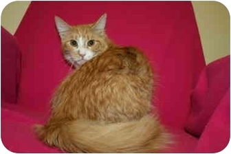 Domestic Mediumhair Cat for adoption in Hendersonville, Tennessee - Perry