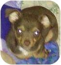 Chihuahua Mix Puppy for adoption in Phoenix, Arizona - Huckleberry Finn (tom sawyer)
