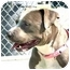 Photo 4 - American Staffordshire Terrier/American Pit Bull Terrier Mix Dog for adoption in San Clemente, California - PRETZEL = Cuddling Lap Dog!