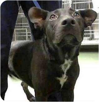 German Shepherd Dog/American Pit Bull Terrier Mix Dog for adoption in Seattle, Washington - Princess