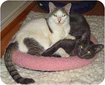 Domestic Shorthair/Domestic Shorthair Mix Cat for adoption in Schertz, Texas - Caroline fka Shiloh