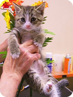 Domestic Shorthair Kitten for adoption in Toledo, Ohio - Sleepy