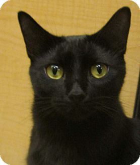 Domestic Shorthair Cat for adoption in McHenry, Illinois - Knight