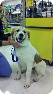 Anatolian Shepherd/Great Pyrenees Mix Puppy for adoption in Indianapolis, Indiana - Rufus