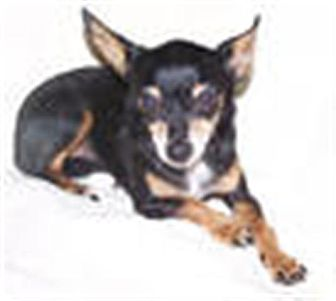 Chihuahua Mix Dog for adoption in Seattle, Washington - Cindy