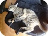 Domestic Shorthair Cat for adoption in Snohomish, Washington - Sahara