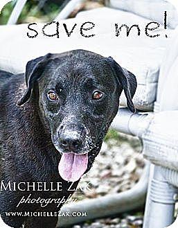 Labrador Retriever/Terrier (Unknown Type, Medium) Mix Dog for adoption in Miami, Florida - Billy