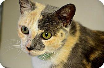 Domestic Shorthair Cat for adoption in Fort Smith, Arkansas - Juna