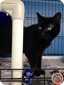 Domestic Shorthair Cat for adoption in Eighty Four, Pennsylvania - Ebony