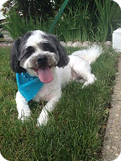 Lhasa Apso Mix Dog for adoption in Plainview, New York - Bailey