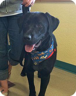 Labrador Retriever Mix Dog for adoption in Gig Harbor, Washington - Goose