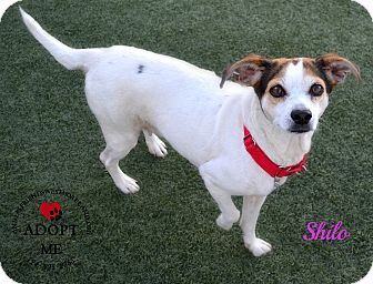Jack Russell Terrier Mix Dog for adoption in Youngwood, Pennsylvania - Shilo