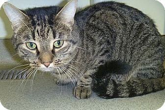 Domestic Shorthair Cat for adoption in Hamburg, New York - Taz