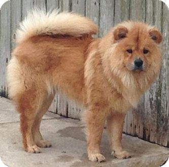 Chow Chow Mix Dog for adoption in Bunnell, Florida - Simba