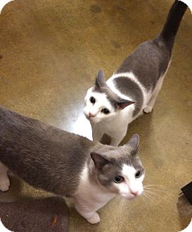 Burmese Cat for adoption in Arcadia, California - BB
