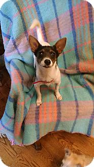 Rat Terrier/Chihuahua Mix Puppy for adoption in Palestine, Texas - Micki