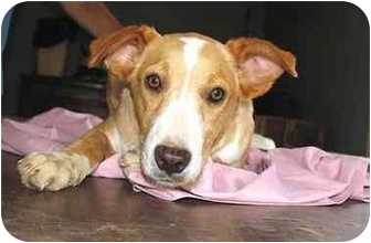 Labrador Retriever/Collie Mix Puppy for adoption in Nashville, Tennessee - Shawn- Adopted