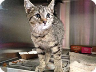 Domestic Shorthair Kitten for adoption in Covington, Kentucky - Rooney