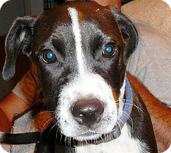 Border Collie/American Staffordshire Terrier Mix Dog for adoption in San Antonio, Texas - Freckles