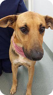German Shepherd Dog/Labrador Retriever Mix Dog for adoption in Westminster, California - Valentine