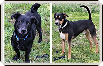 Labrador Retriever/Beagle Mix Dog for adoption in Dunkirk, New York - Snickers