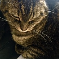 Domestic Shorthair Cat for adoption in Victor, New York - Ellie