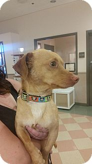 Dachshund Mix Dog for adoption in Palo Cedro, California - Frankie