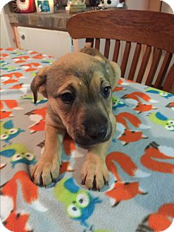 Labrador Retriever/German Shepherd Dog Mix Puppy for adoption in Kittery, Maine - Presley