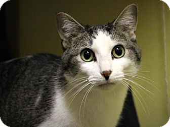Domestic Shorthair Cat for adoption in West Des Moines, Iowa - Cooper