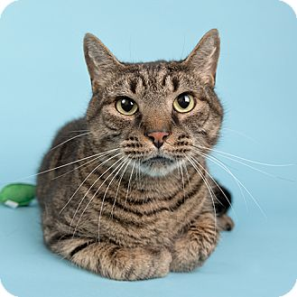 Domestic Shorthair Cat for adoption in Wilmington, Delaware - Tiger