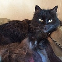 Domestic Longhair Cat for adoption in Toledo, Ohio - Shelby