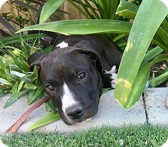 Boxer/Pit Bull Terrier Mix Puppy for adoption in Newport Beach, California - Wyatt