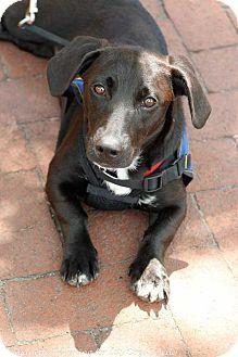Dachshund/Labrador Retriever Mix Dog for adoption in Washington, D.C. - Becky (Has Application)