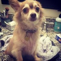Chihuahua Mix Dog for adoption in New Orleans, Louisiana - Adrianna