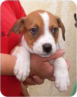 Hound (Unknown Type)/Australian Shepherd Mix Puppy for adoption in El Segundo, California - Indie